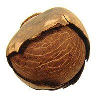 The Tagua Nut